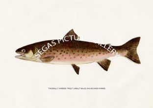 Dolly Varden Trout (Adult Male) Salvelinus-Parkei